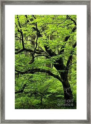 Swamp Birch Framed Print by Thomas R Fletcher