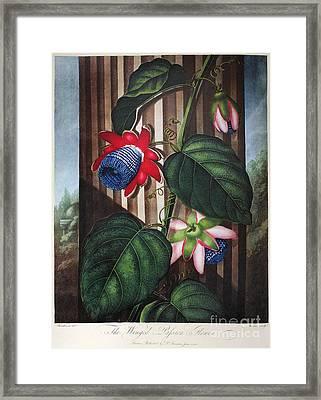 Thornton: Passion-flower Framed Print by Granger