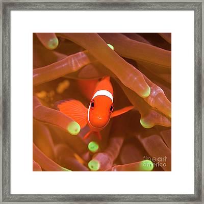 Tropical Fish Clownfish Framed Print by MotHaiBaPhoto Prints