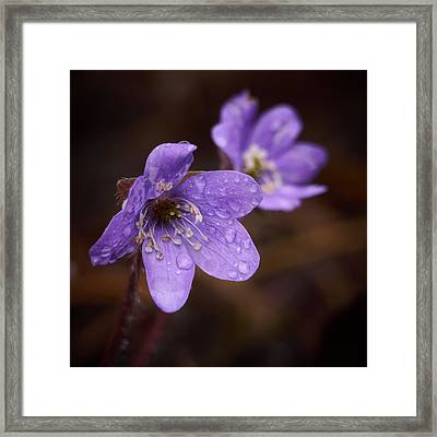 Vanishing Beayty Of Hepatica Framed Print by Jouko Lehto