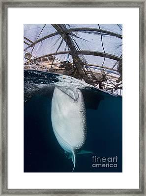 Whale Shark Sucking At Fishing Nets Framed Print by Mathieu Meur