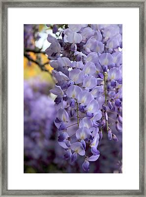 Wisteria Blossom Framed Print by Jessica Jenney