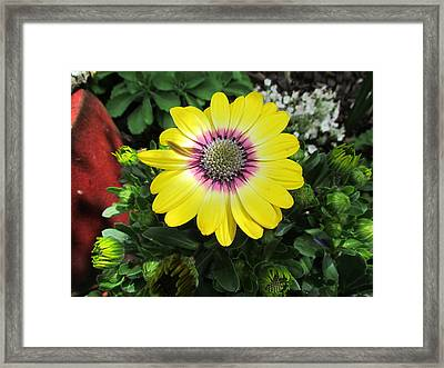Yellow Daisy Framed Print by Joyce Woodhouse