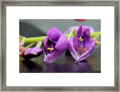 2010 Wisteria Blossom Up Close 1 Framed Print by Robert Morin