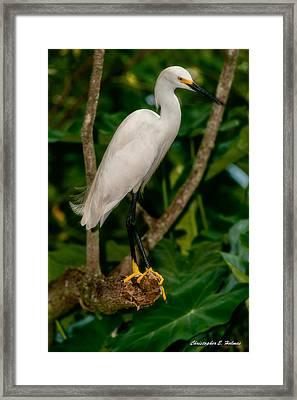 White Egret Framed Print by Christopher Holmes