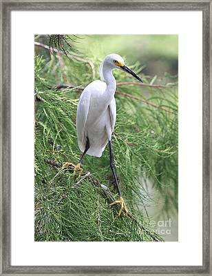 Snowy Egret Framed Print by Ken Keener