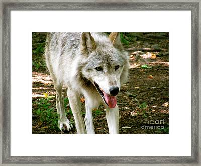 The Wild Wolve Group A Framed Print by Debra     Vatalaro