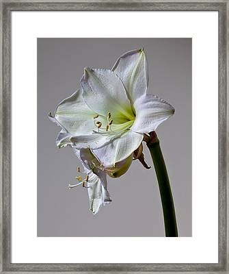 Amaryllis 2 Framed Print by Robert Ullmann