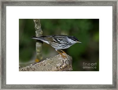Blackpoll Warbler Framed Print by Anthony Mercieca