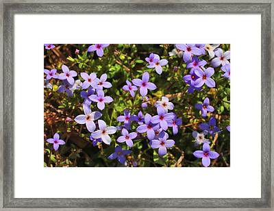Bluets Framed Print by Kathryn Meyer