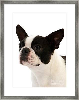 Boston Terrier Dog Framed Print by Gerard Lacz