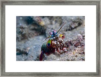 Close-up View Of A Mantis Shrimp, Papua Framed Print by Steve Jones