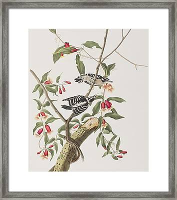 Downy Woodpecker Framed Print by John James Audubon