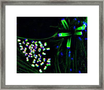 E. Coli Infection Mechanism Framed Print by Dr Dan Kalman