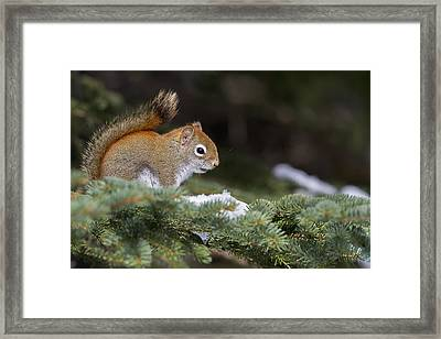 Eastern Grey Squirrel  Sciurus Framed Print by Philippe Henry