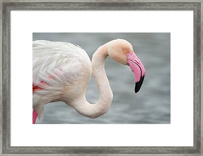 Greater Flamingo Phoenicopterus Roseus Framed Print by Panoramic Images