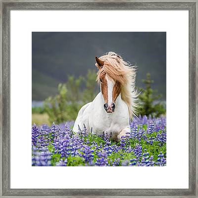 Horse Running By Lupines. Purebred Framed Print by Panoramic Images