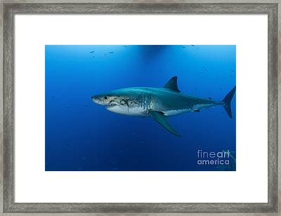 Male Great White Shark, Guadalupe Framed Print by Todd Winner