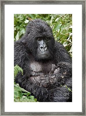 Mountain Gorilla And Infant Framed Print by Tony Camacho
