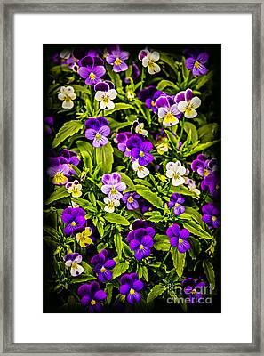 Pansies Framed Print by Elena Elisseeva