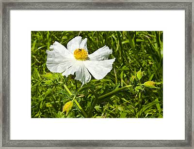Prickly Poppy Framed Print by Mark Weaver