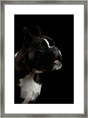 Purebred Boxer Dog Isolated On Black Background Framed Print by Sergey Taran