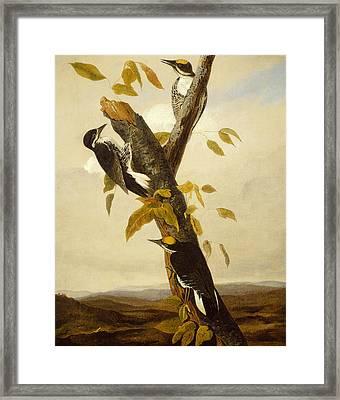 Woodpeckers Framed Print by John James Audubon