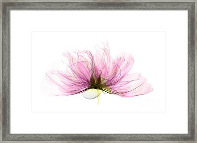 X-ray Of Peony Flower Framed Print by Ted Kinsman