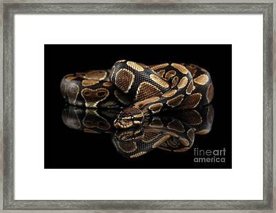 Ball Or Royal Python Snake On Isolated Black Background Framed Print by Sergey Taran
