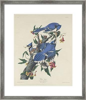 Blue Jay Framed Print by John James Audubon