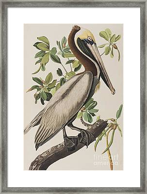 Brown Pelican  Framed Print by John James Audubon