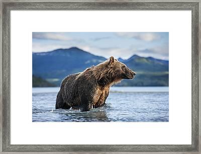 Coastal Brown Bear  Ursus Arctos Framed Print by Paul Souders