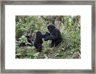 Mountain Gorilla Family Group Framed Print by Tony Camacho