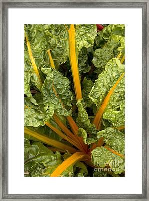 Organic Swiss Chard Framed Print by Inga Spence