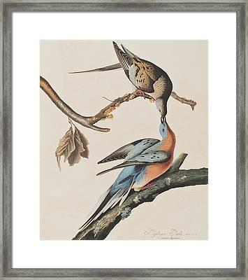 Passenger Pigeon Framed Print by John James Audubon