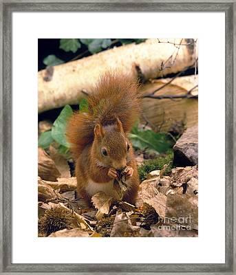 Red Squirrel Sciurus Vulgaris Framed Print by Gerard Lacz