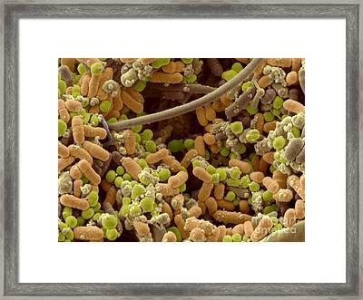 Streptococcus Pyogenes Framed Print by Scimat