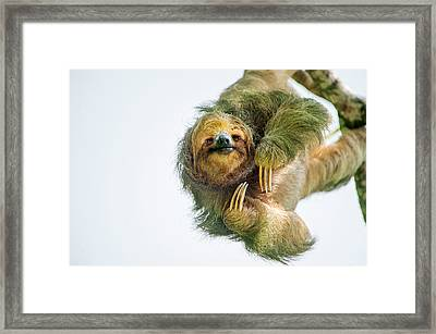 Three-toed Sloth Bradypus Tridactylus Framed Print by Panoramic Images