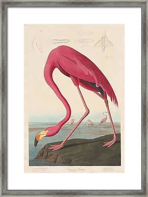 American Flamingo Framed Print by John James Audubon