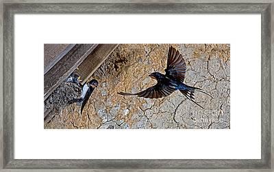 Barn Swallow Hirundo Rustica Framed Print by Gerard Lacz