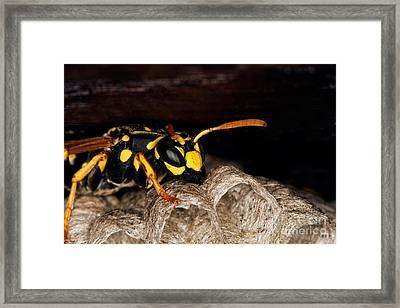 Common Wasp Vespula Vulgaris Framed Print by Gerard Lacz