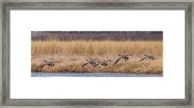 5 Geese Framed Print by Paul Freidlund