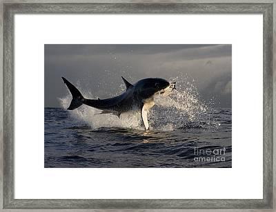 Great White Shark Framed Print by Jean-Louis Klein & Marie-Luce Hubert