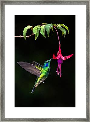Green Violetear Colibri Thalassinus Framed Print by Panoramic Images