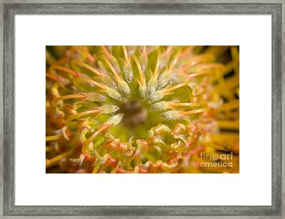 Protea Blossom Framed Print by Ron Dahlquist - Printscapes