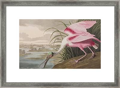Roseate Spoonbill Framed Print by John James Audubon