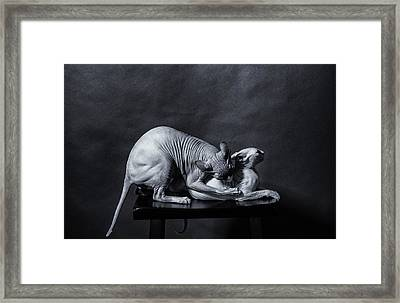 50 Shades Of Sphynx Framed Print by Zina Zinchik