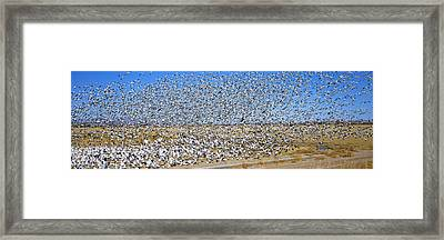 A Panoramic Of Thousands Of Migrating Framed Print by Panoramic Images
