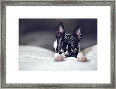 Boston Terrier Puppy Framed Print by Nailia Schwarz