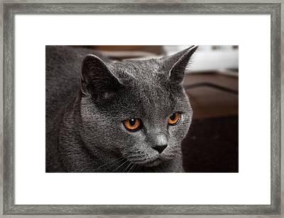 British Cat Framed Print by Boyan Dimitrov